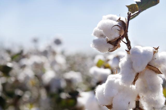 algodón organico